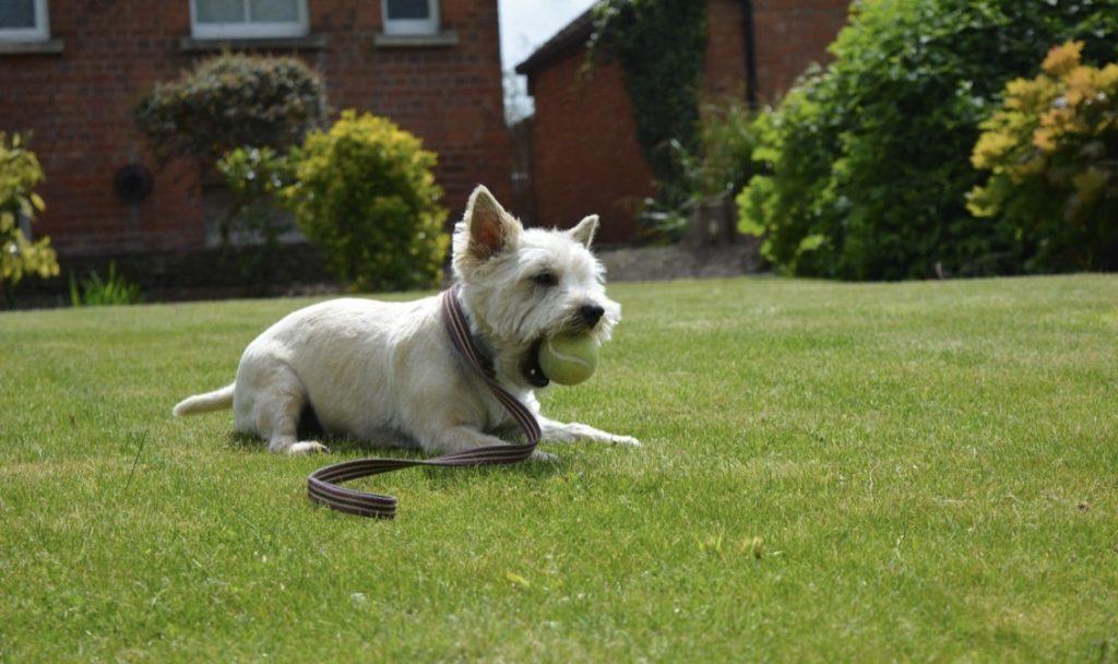 groom cairn terrier